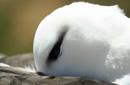 マユグロアホウドリ